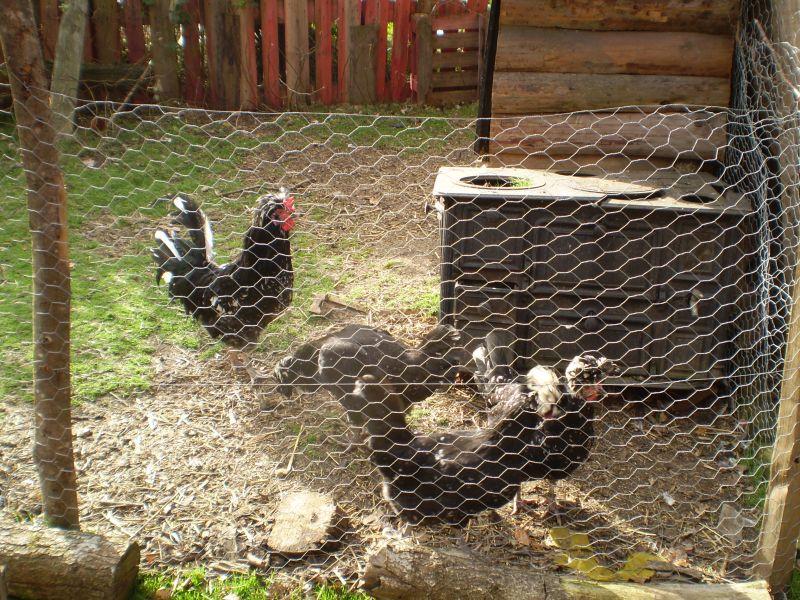 poules retrouvées sans tête